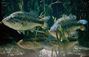 about black bass