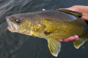 how to catch walleye